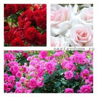 Розы в саду: подкормка летом и осенью