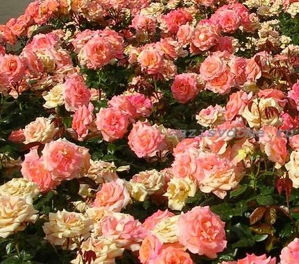 Цветение роз в саду