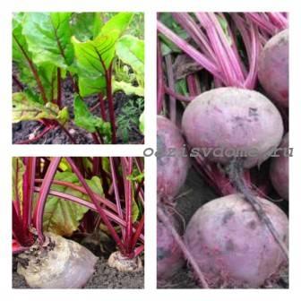 Когда убирать (выкапывать) свеклу на хранение: сроки и правила сбора урожая