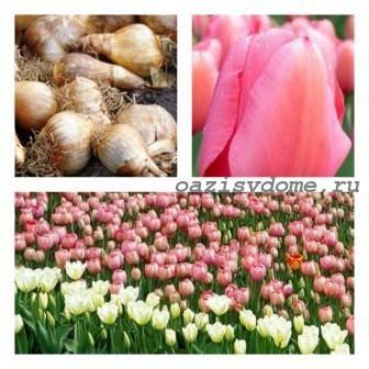 Осенняя посадка тюльпанов: сроки и правила посадки луковиц