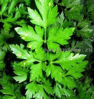 Растение петрушка