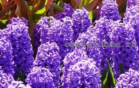 Цветение гиацинтов в саду