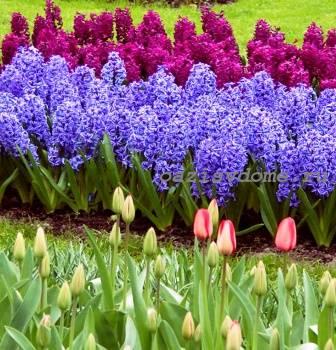 Клумба с гиацинтами и тюльпанами