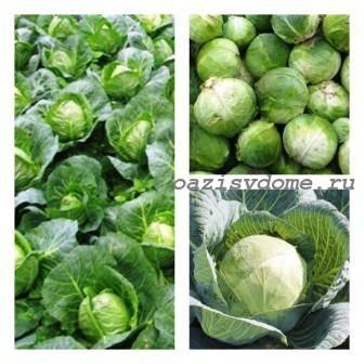 Сроки уборки капусты: когда и как правильно убирать с огорода на хранение