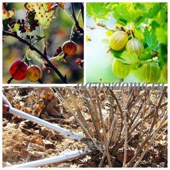 Уход за крыжовником осенью, подготовка к зиме: обрезка, полив, подкормка, обработка