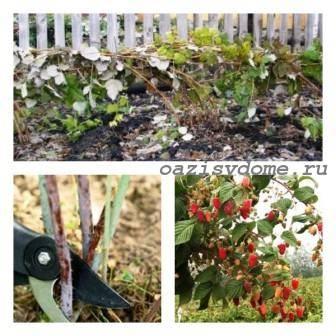 Осенний уход за малиной, подготовка к зиме: обрезка, укрытие
