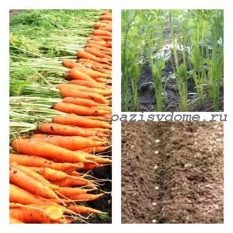Сорта моркови под зиму, когда сажать и как правильно посеять семена