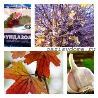 Обработка кустов смородины осенью от вредителей и болезней