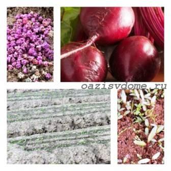 Подзимний посев свеклы: когда и как сажать буряк осенью