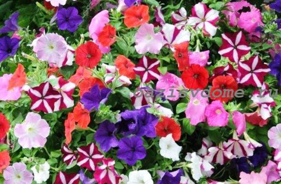Многоцветковая петуния Джоконда