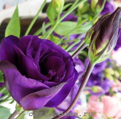 Цветок и бутон эустомы