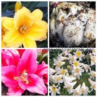 Лилии: посадка осенью в открытый грунт, как и когда сажать, укрытие на зиму