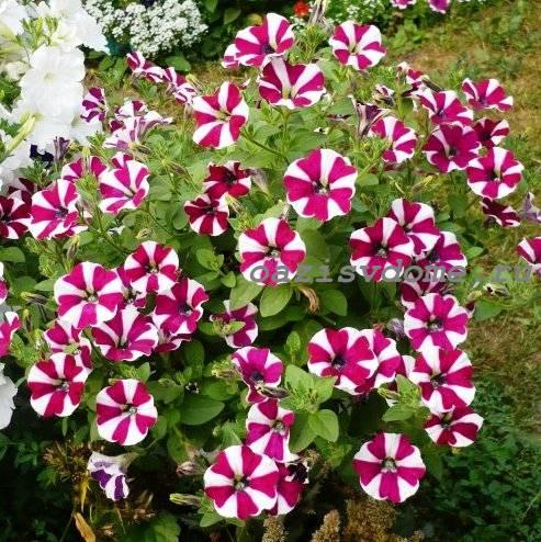 Цветение петунии Софистика