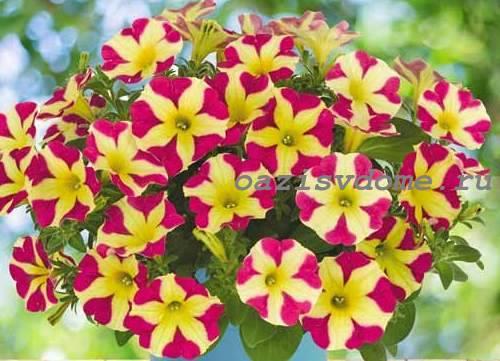 Крупноцветковая петуния Софистика