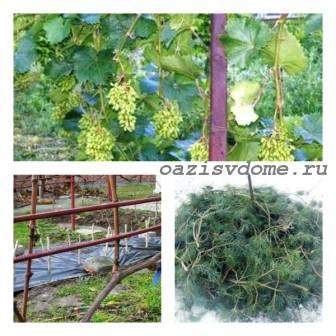 Укрытие винограда на зиму в Подмосковье: сроки и способы, видео