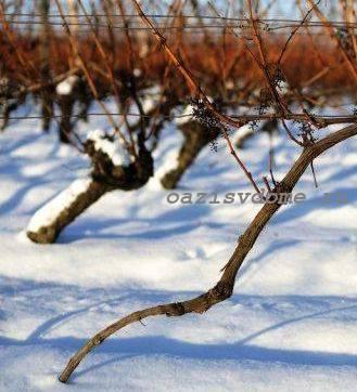 Укрытый снегом виноград