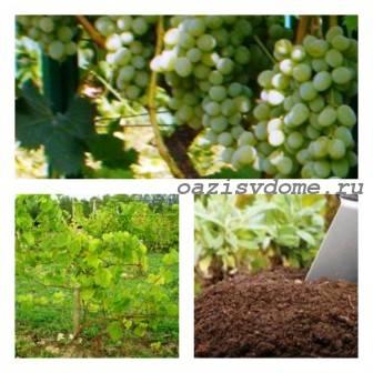 Подкормка винограда осенью золой, суперфосфатом, органикой