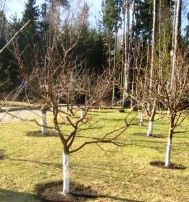 Яблони в осеннем саду