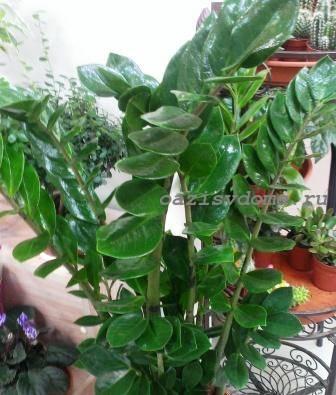 Замиокулькас: все нюансы пересадки цветка в домашних условиях пошагово