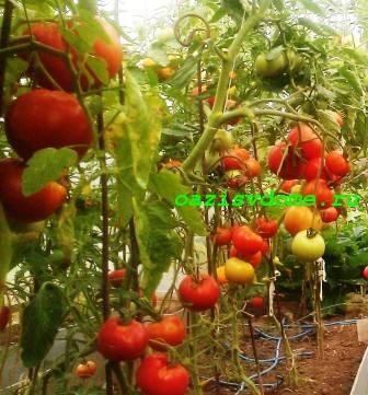 20 лучших сортов тепличных томатов, которые можно выращивать в Сибири