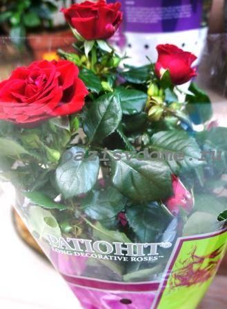 Что делать, если у розы пожелтели и начали опадать листья: ищем причину и спасаем цветок