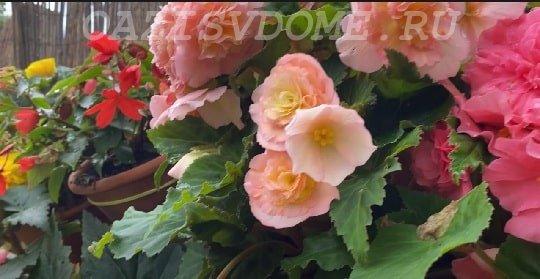 Цветение вечноцветущей бегонии в саду