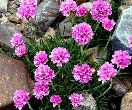 Фото многолетнего растения Армерия
