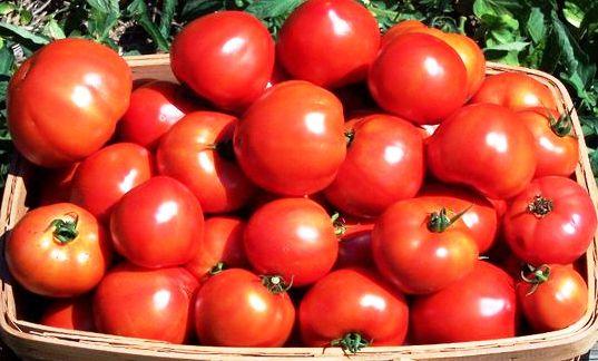 Раннеспелый сорт томата Биатлон