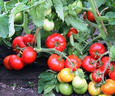 Низкорослые раннеспелые сорта томатов Дебют