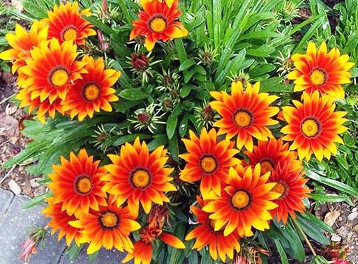 Цветок гацания в саду