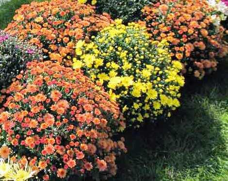 Фото хризантем в саду