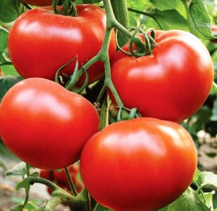 Самые ранние высокорослые сорта томатов Президент