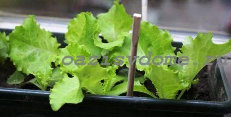Салат в ящике на подоконнике