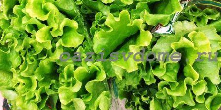 Выращиваем салат зимой в квартире на подоконнике