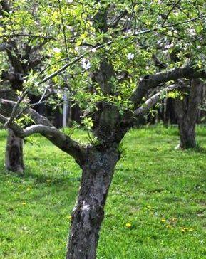 Яблони после цветения