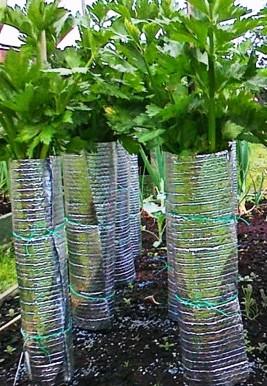 Обмотка листового сельдерея
