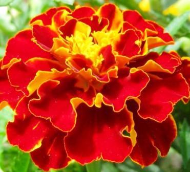 Цветок тагетеса Кармен