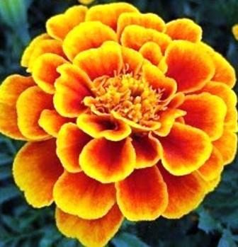 Цветок тагетеса Квин Софиа