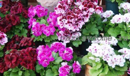 Выращивание пеларгонии (герани) из семян: когда и как правильно сажать, как вырастить рассаду