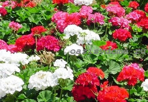 Цветение герани в саду