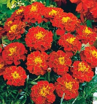 Фото крупноцветковых низкорослых бархатцев сорта Красная парча