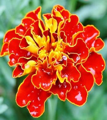 Цветок тагетеса Красная парча