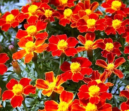 Фото бархатцев сорта Красный самоцвет