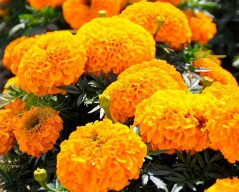 Фото бархатцев крупноцветковых низкорослых сорта Антигуа