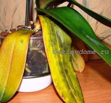 Желтые и мягкие листья орхидеи