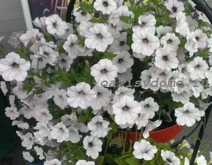 Пошаговое выращивание петунии из семян с фото на примере стелющейся петунии Серебро