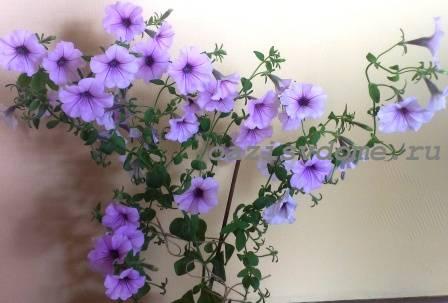 Цветение петунии Серебро