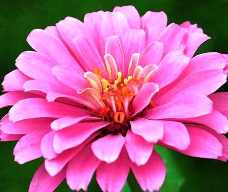 Фото цветка цинии
