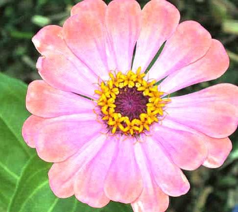 Фото цинии в саду