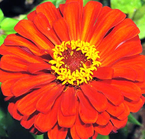 Цветок цинии элегантной